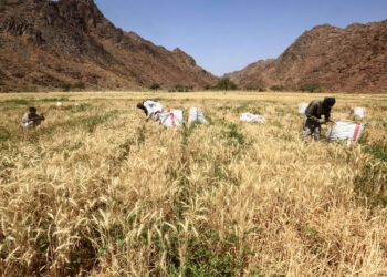 Asian farmers harvest wheat in a field in the Tabuk region, some 1500 kilometers northwest of the Saudi capital Riyadh, on April 7, 2016.    / AFP / MOHAMED HWAITY        (Photo credit should read MOHAMED HWAITY/AFP via Getty Images)